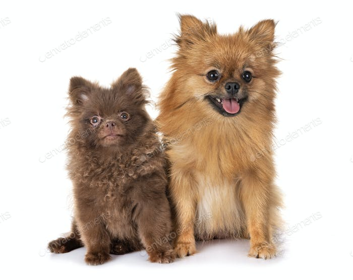 pomeranian family in studio