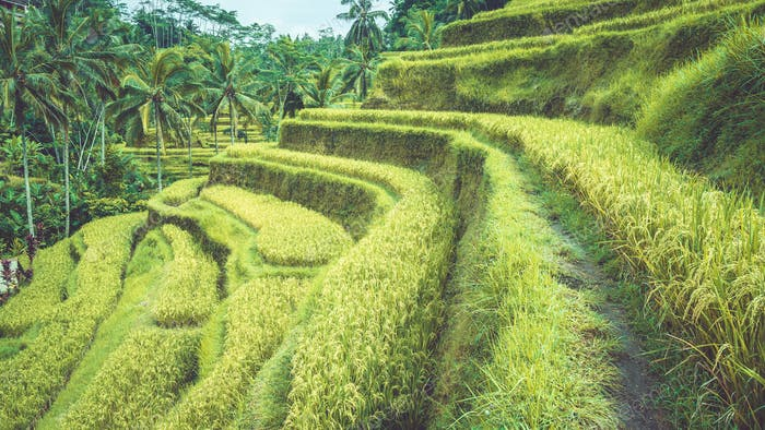 Tegalalang rice terrace fields with beautiful coconut palm trees growing on cascades, Ubud, Bali