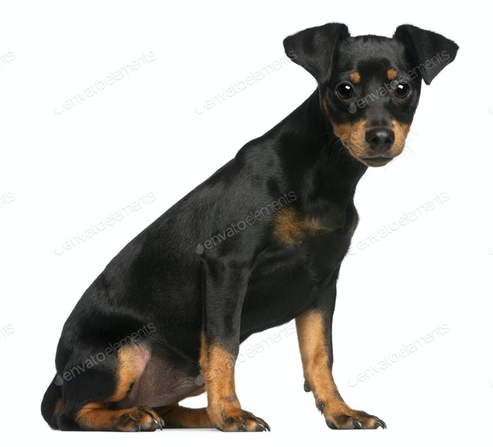 Miniature Pinscher puppy, 5 months old, sitting in front of white background