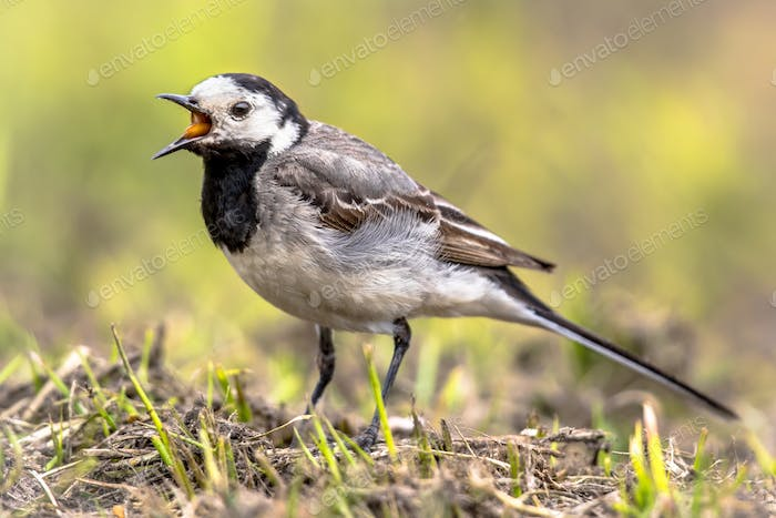 White wagtail in field