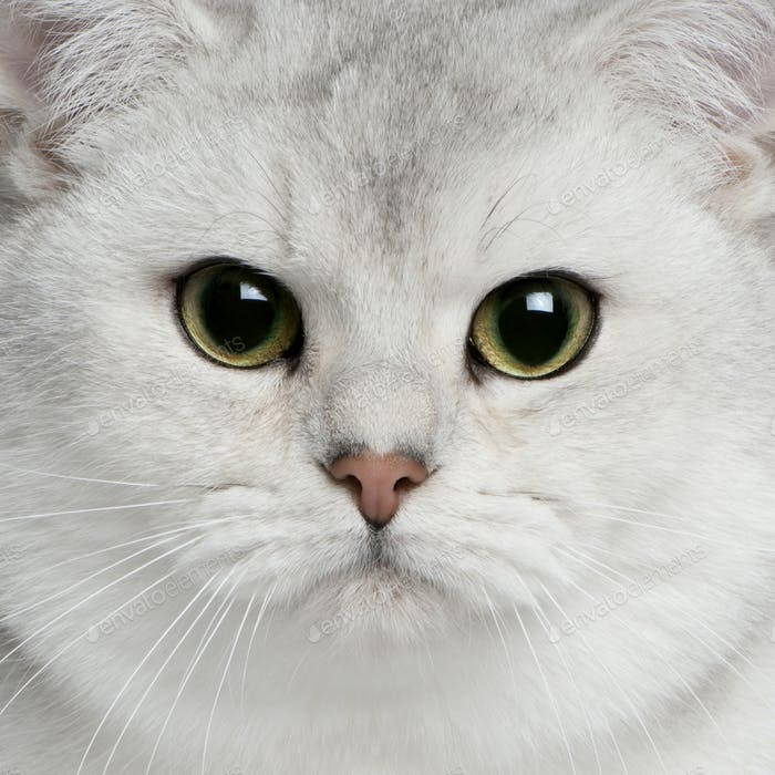 Close-up of British shorthair cat, 9 months old