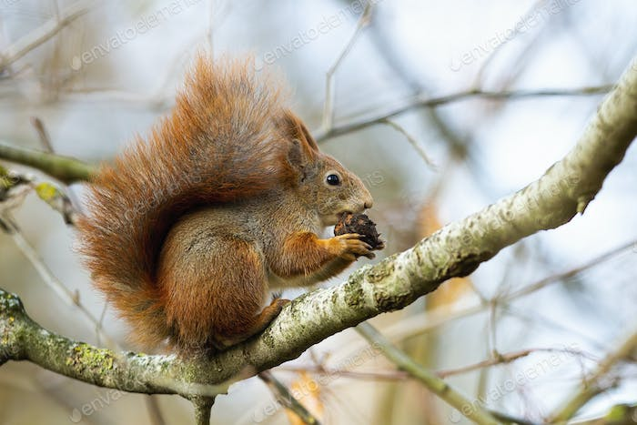 Curious red squirrel biting cone on branch in autumn nature