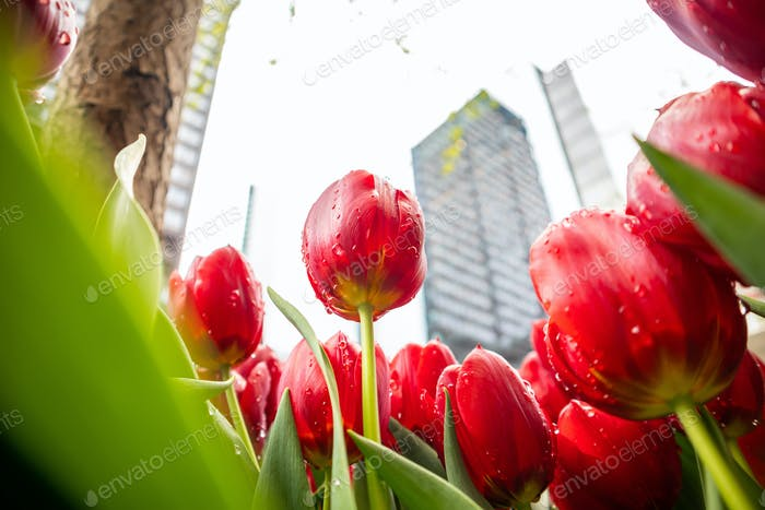 Red tulips with raindrops on blur city background, spring day after the rain