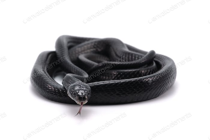 Black Mangrove Snake isolated on white background