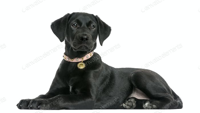 Side view of a Labrador retriever puppy, 5 months old, isolated on white