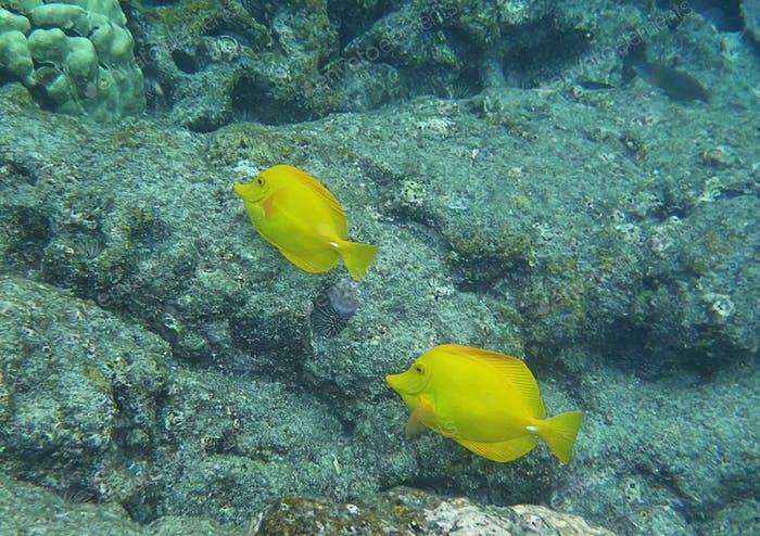 Yellow Tangs in Hawaii island