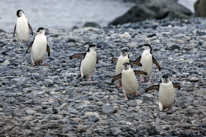 Chinstrap pinguins