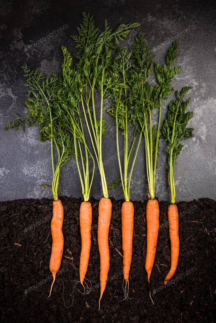 Oragnic Carrots Growing in Soil, Creative Conceptual Image