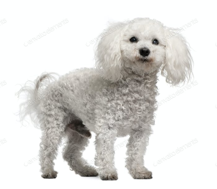 Bichon frise, 12 years old, standing in front of white background