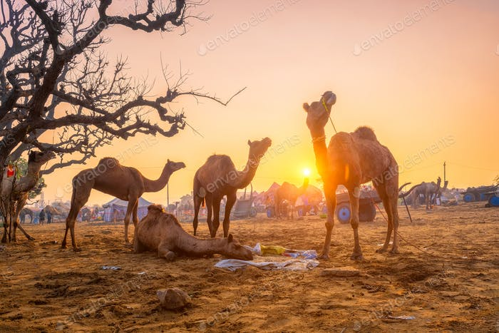 Pushkar Mela Kamel Fair Festival im Feld Essen Kauen bei Sonnenuntergang. Pushkar, Rajasthan, Indien