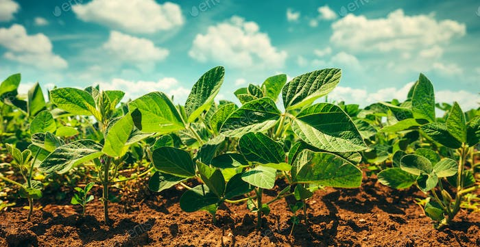 Small soybean plants growing in cultivated field