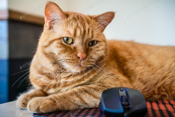 Close up of orange cat sitting next to a mouse; shallow depth of field