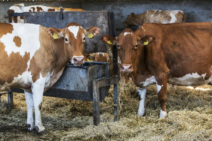 Two Guernsey cows standing in a barn, feeding on hay, looking at camera.