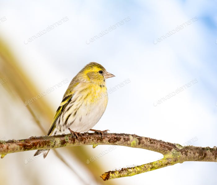 Eurasian siskin sitting on the branch of a tree