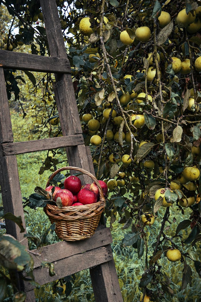 Red ripe apple in basket