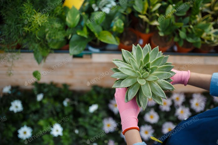 Seller hand in gloves holds plant, florist store