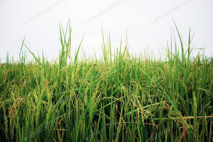 Rice on field at sky