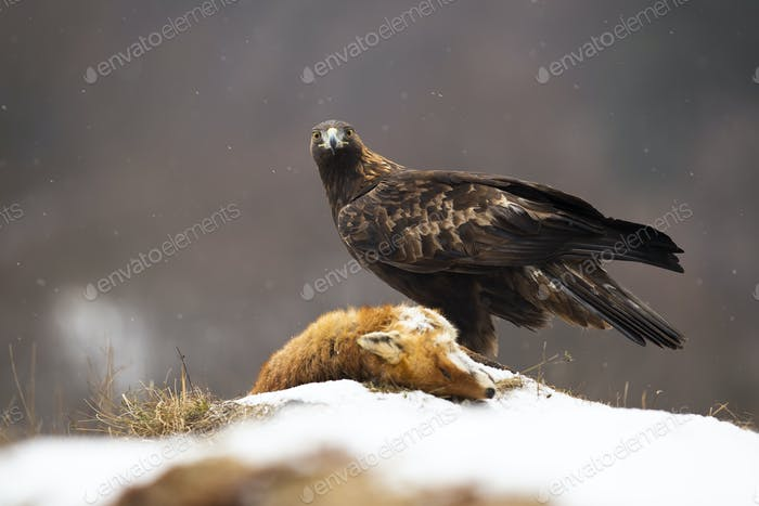 Águila dorada mirando a la cámara en el prado en invierno