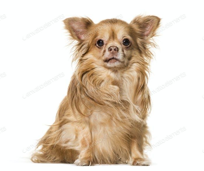 Chihuahua dog sitting, cut out