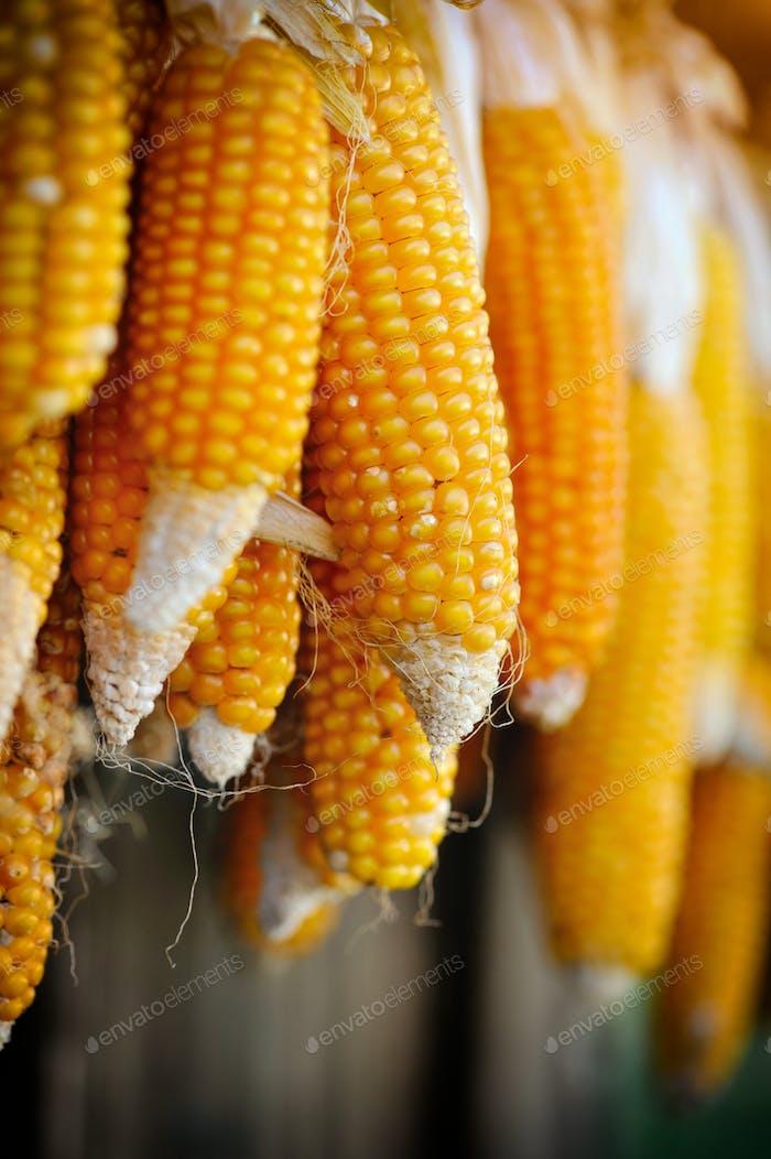 Getrocknete Maiskolben hängen