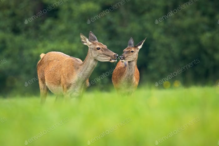 A pair of red deer touching with their noses while eating on the grassy meadow