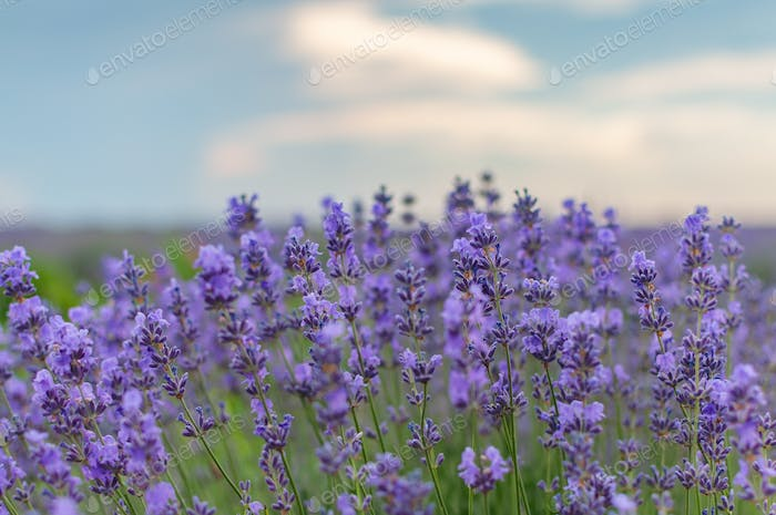 Purple flowers lavender