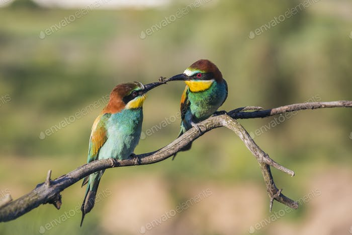 Couple of European bee-eater - Merops apiaster - with bee on a branch in the morning