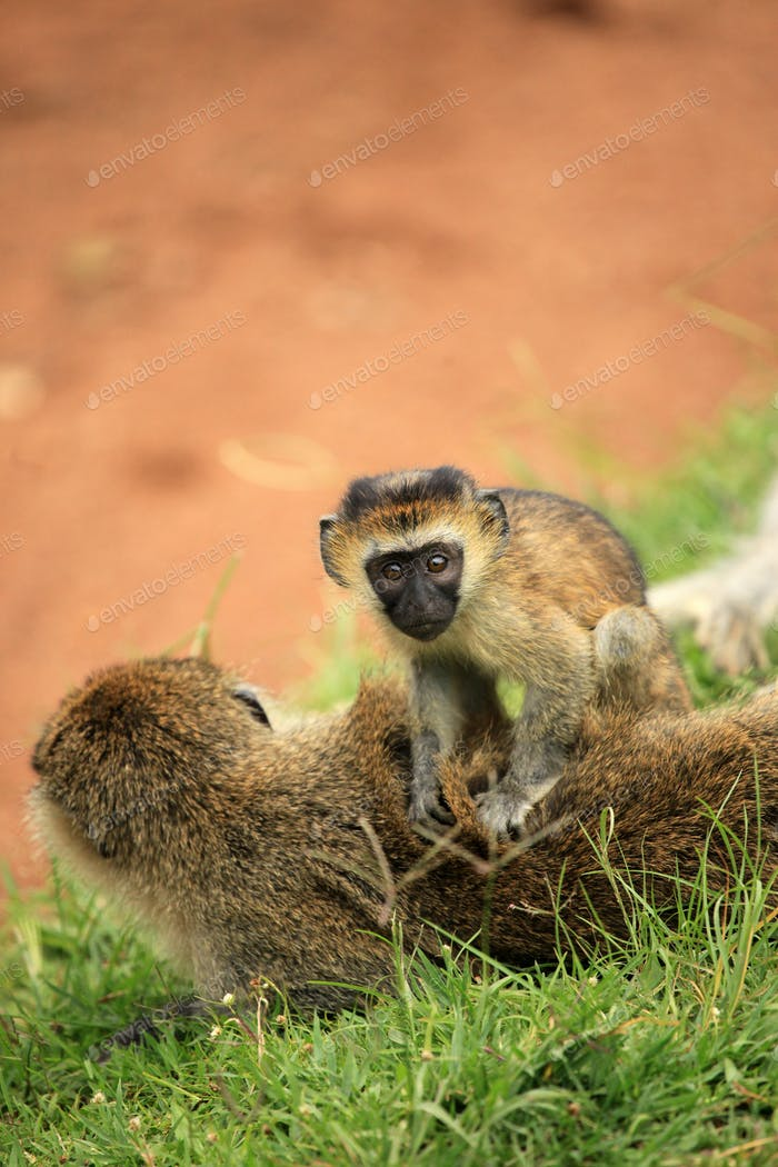 Vervet Monkey - African Wildlife