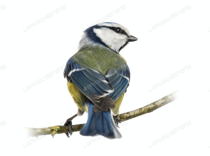 Rear view of a Blue Tit perched on a branch, Cyanistes caeruleus, isolated on white