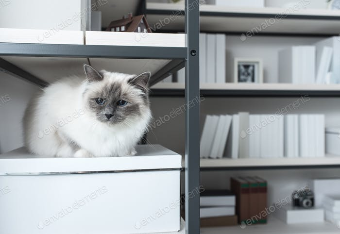 Beautiful cat exploring shelves