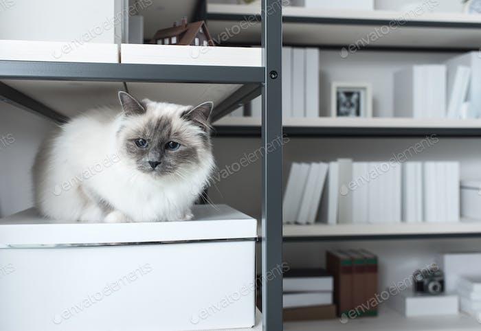 Schöne Katze erkunden Regale