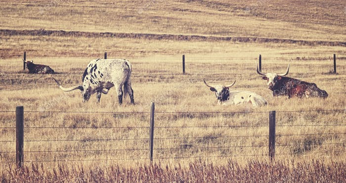 Alter Film retro stilisiert Texas Longhorns.