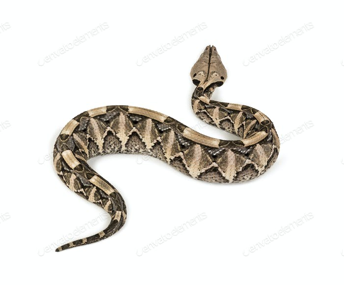 Bitis gabonica, Gaboon viper , Bitis gabonica, is a viper species, venomous against white background