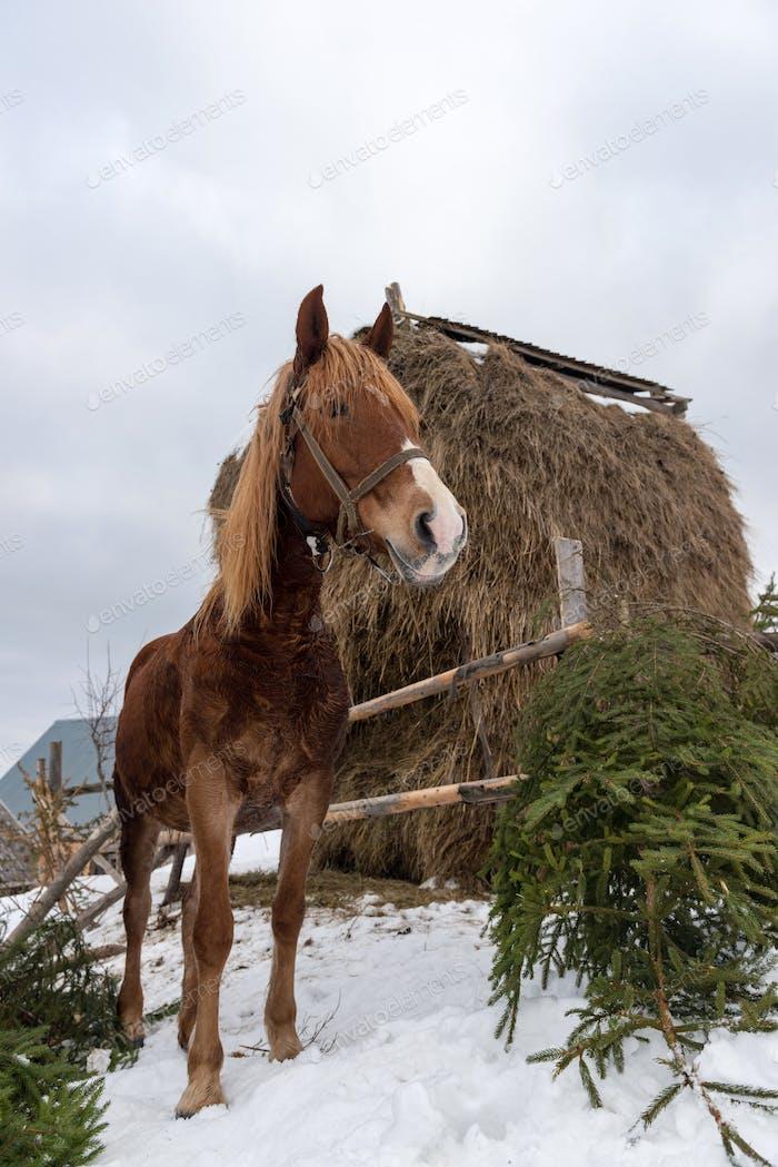 Braunes Pferd im Winter Bauernhof