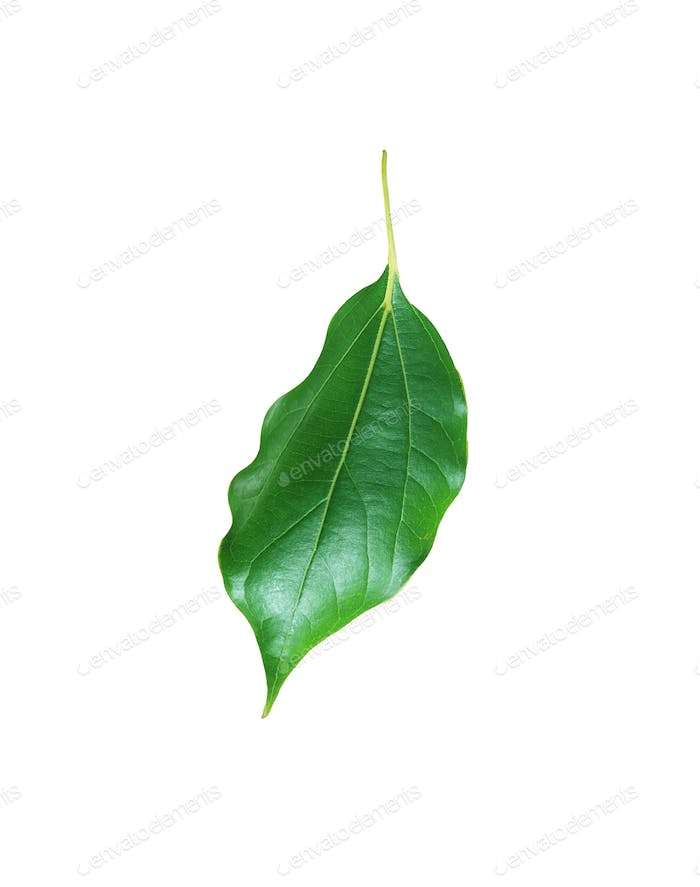 Citrus leave isolated