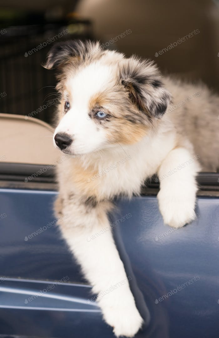 Purebred Australian Shepherd Puppy Leans Out Car Window