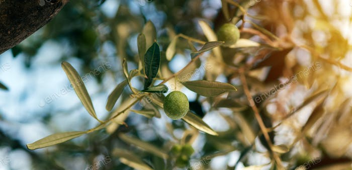Ripe olive fruit on tree