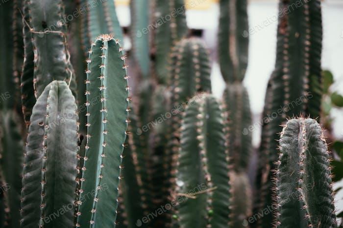 Close-up of many light green botanical Barrel cactus .
