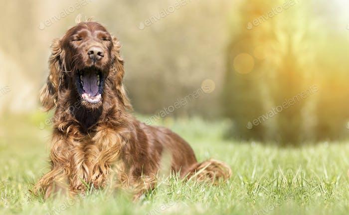Funny yawning dog