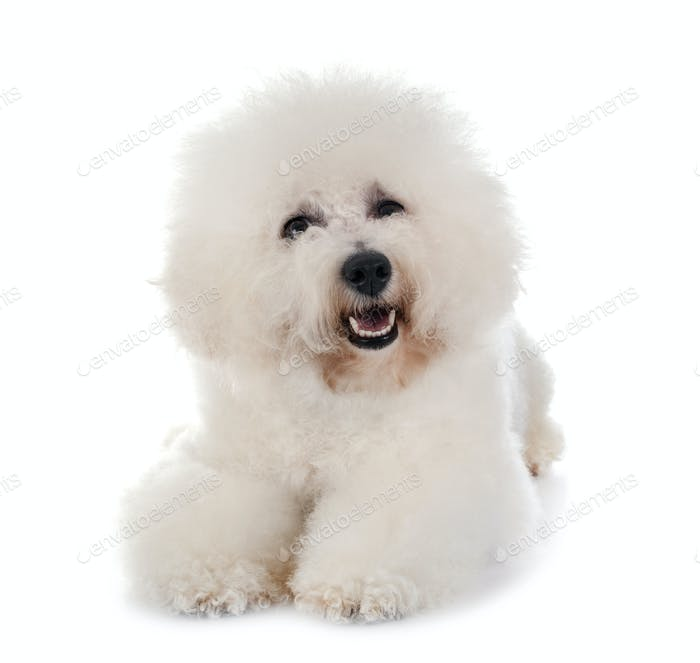 Bichon Frise in studio