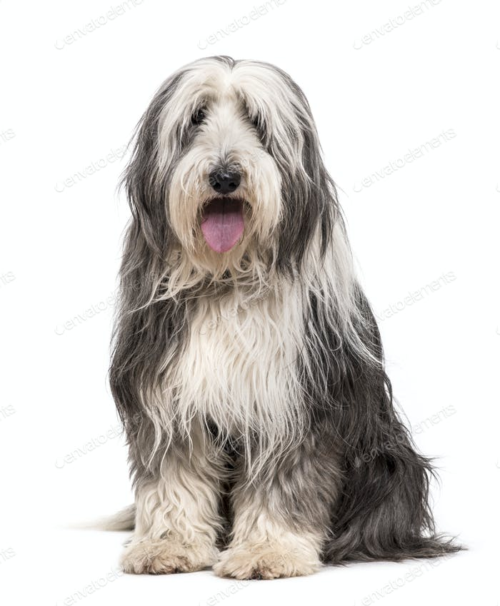 Sitting Bearded Collie Dog panting, cut out