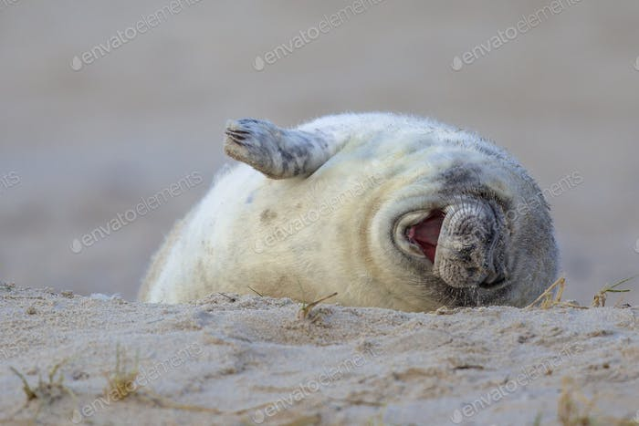 Laughing baby seal