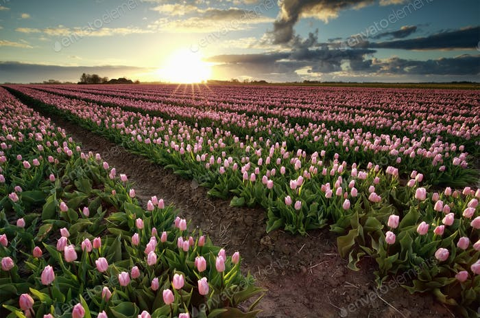 evening sunshine over pink tulip field