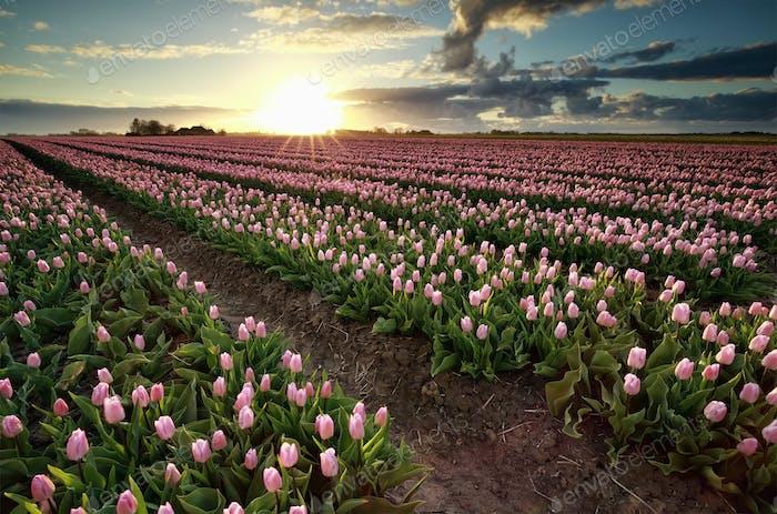 evening sunshine over pink tulip field