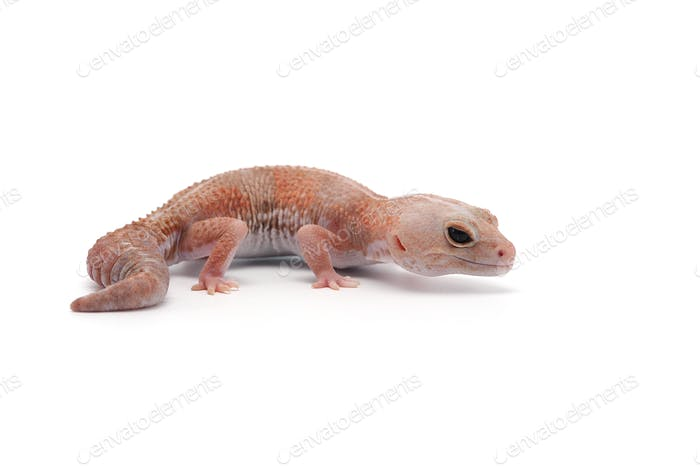 african fat tail gecko isolated on white background
