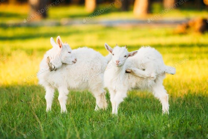 Kid Goat Grazes On Green Summer Grass On A Sunny Day. Goat Eatin