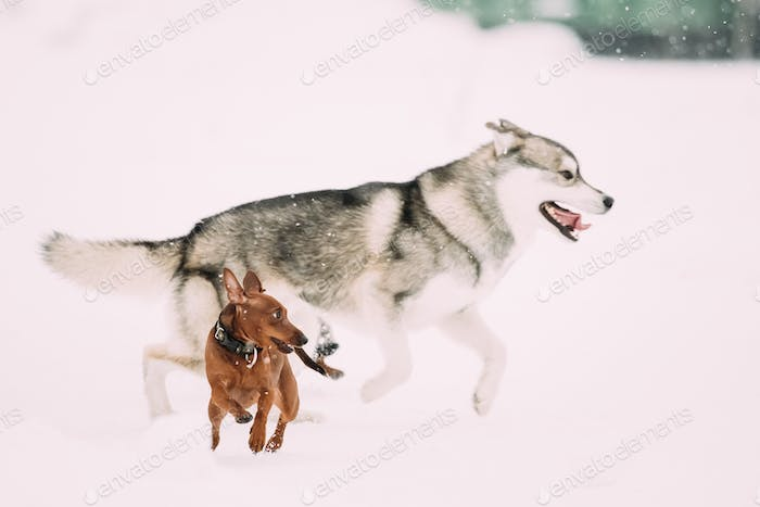 Two Funny Dogs Play Together. Funny Dog Red Brown Miniature Pins