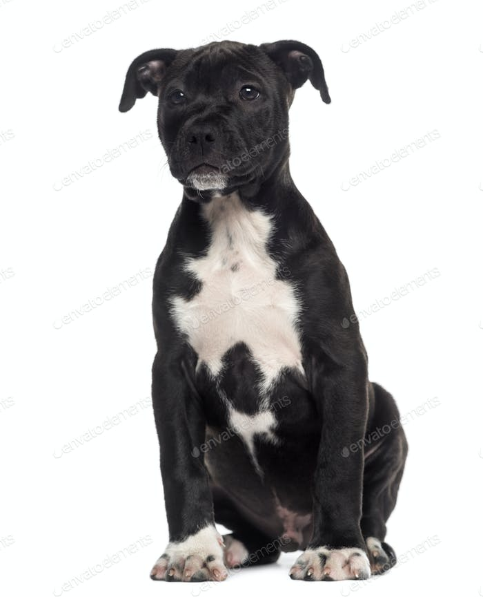 American Staffordshire Terrier puppy sitting (3 months old