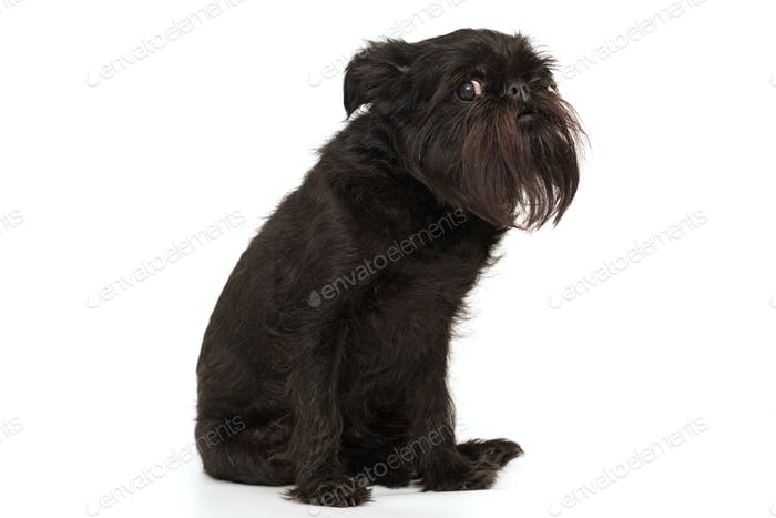 Dog of the Belgian Griffon breed