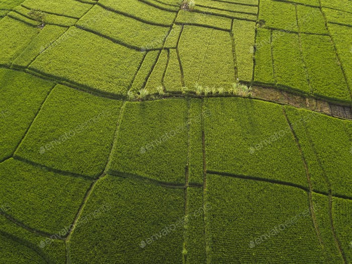 Aerial view of rice fields, Bali, Indonesia